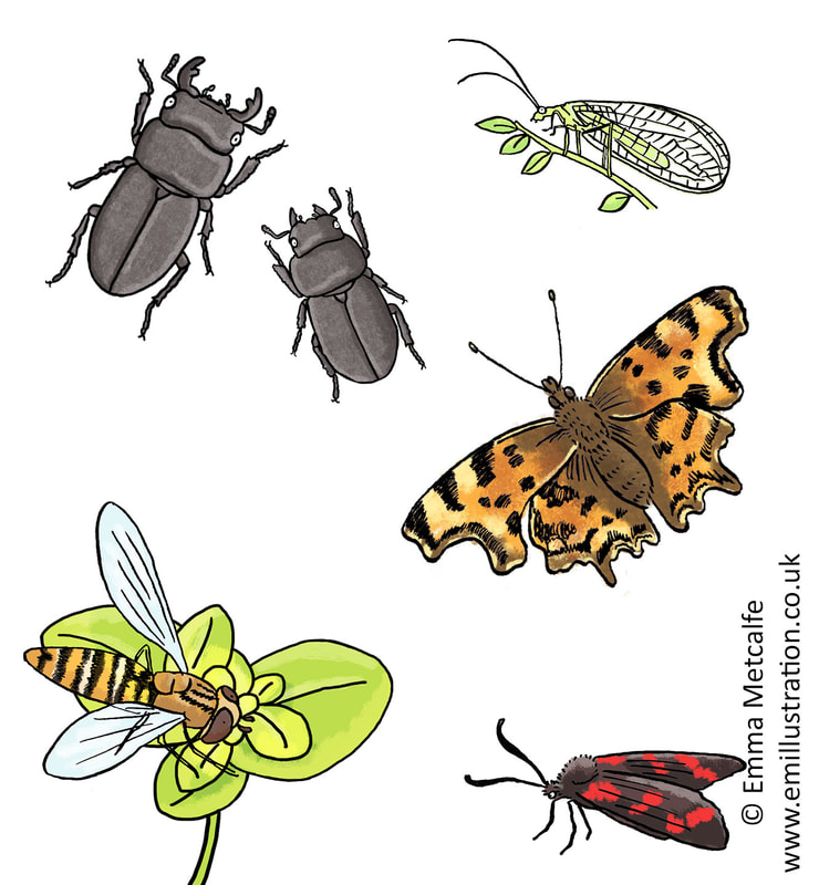 Children's educational illustrations of lesser stag beetles, lacewing, comma butterfly, hoverfly by wildlife illustrator emma metcalfe