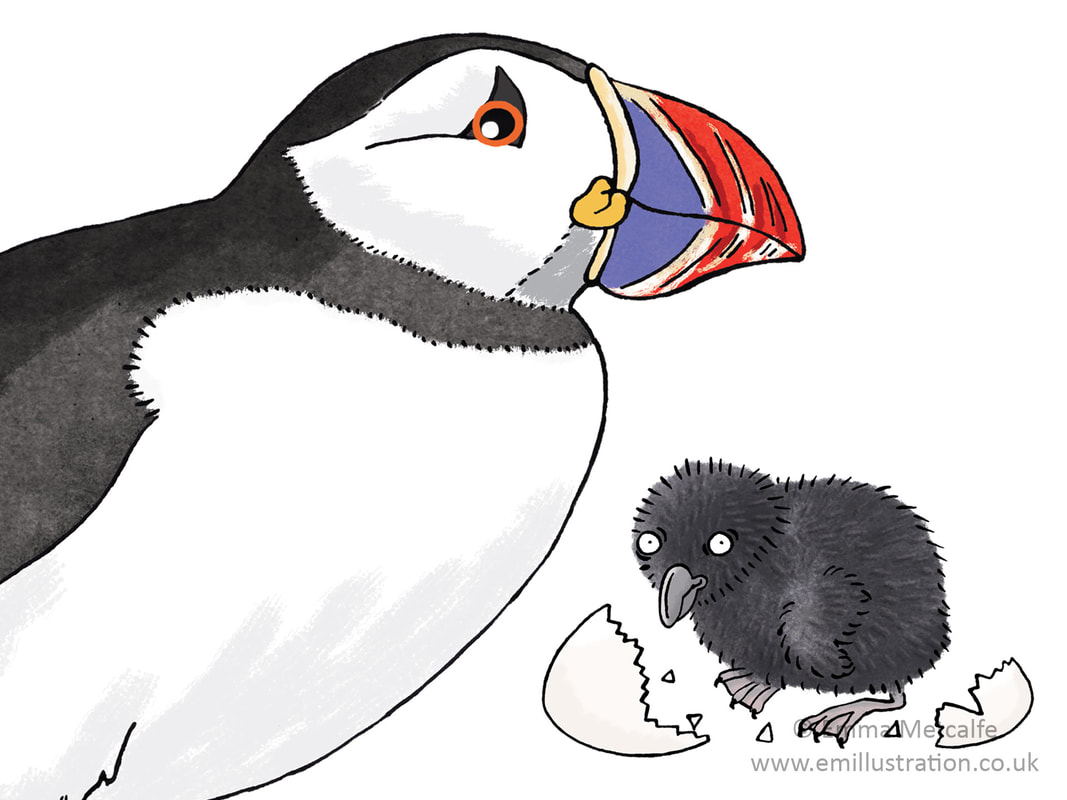 Educational wildlife illustration of a puffin and puffling chick by illustrator Emma Metcalfe