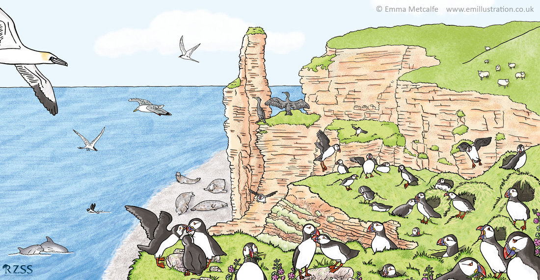 Large format wildlife scene illustration of puffins on cliff top showing puffin behaviour by wildlife illustrator emma metcalfe
