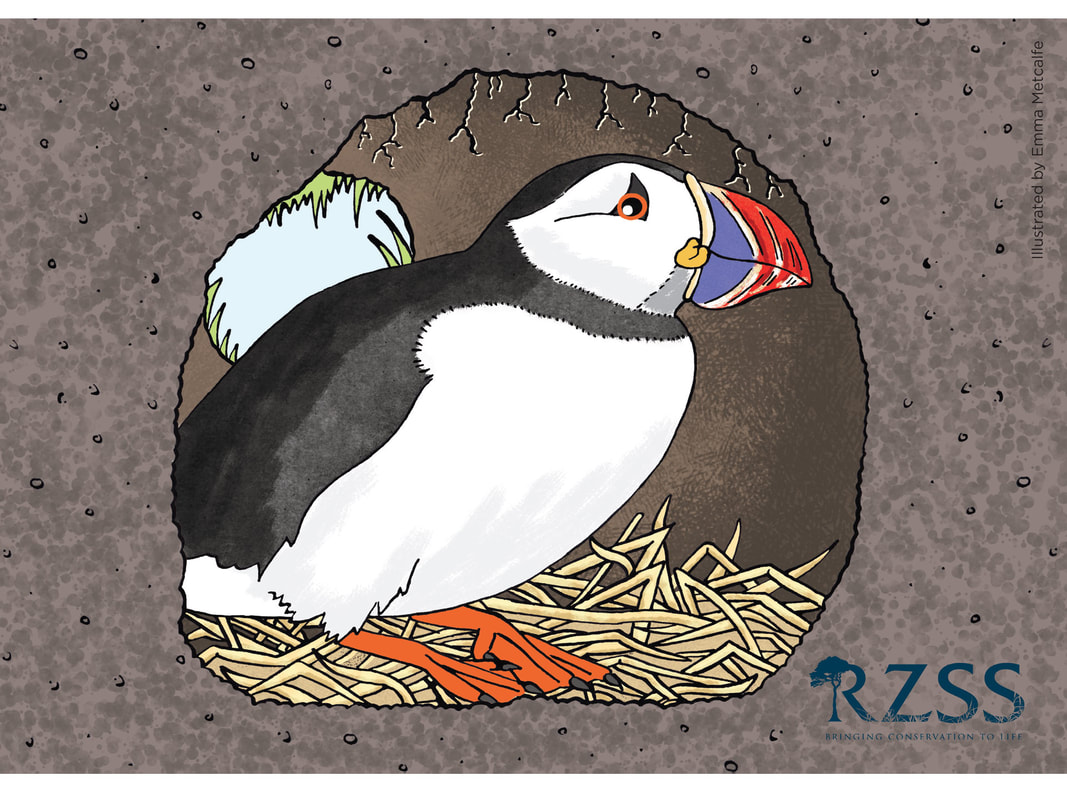 Children's educational illustration of puffin behaviour/life cycle showing puffin in nest hole