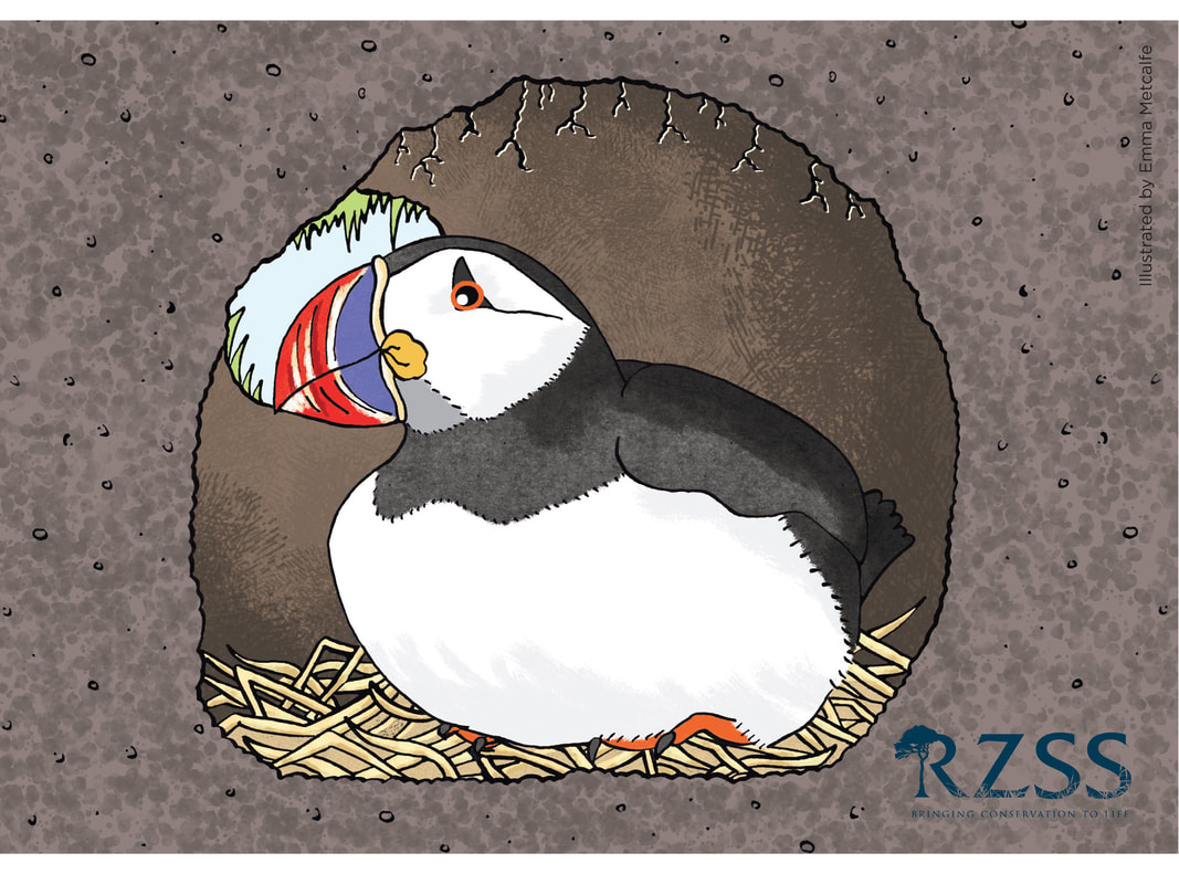 Children's educational illustration of puffin behaviour/life cycle showing puffin sitting on egg in nest